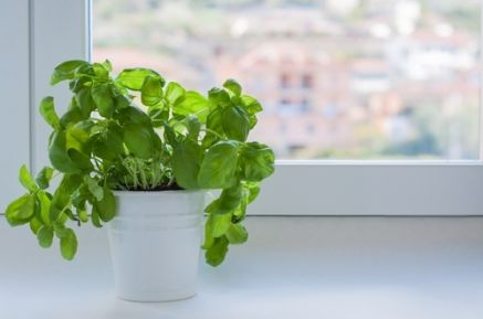 Plant of the Week: Basil