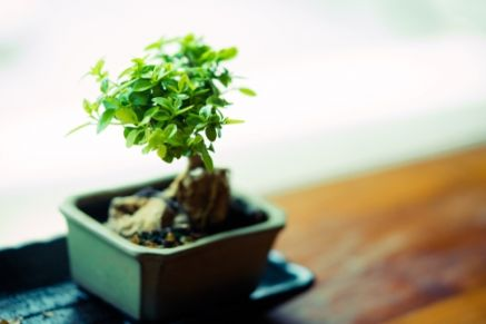 Plant of the Week: Bonsai