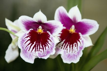 Plant of the Week: Miltonia