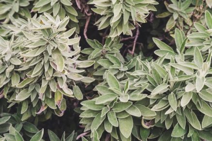 Plant of the Week: Sage