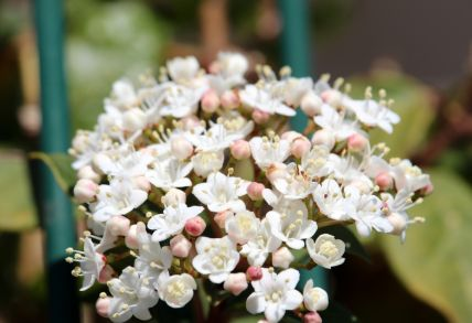 Plant of the Week: Viburnum